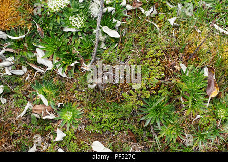 varied plant vegetation, or Paramo, growing in El Cajas National Park, Ecuador, South America - Stock Image