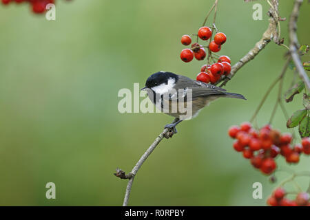 Coal Tit, Periparus ater, in red berry bush - Stock Image