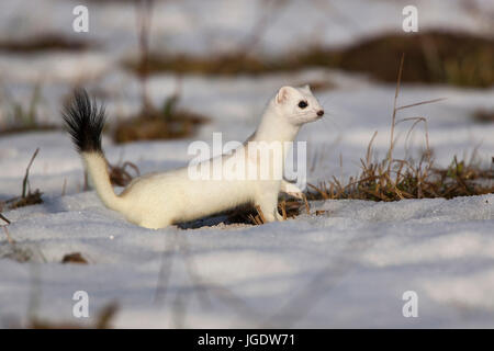 Ermine, Mustela erminea in the winter coat, Hermelin (Mustela erminea) im Winterfell - Stock Image