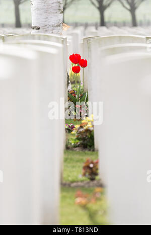 A small cluster of blood-red tulips through the white gravestones in Hooge Crater Cemetery - a WWI burial site in the Ypres salient, Belgium. - Stock Image