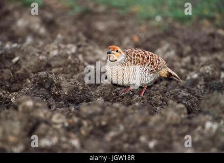 Grey Francolin or Gray Francolin, (Francolinus pondicerianus), Keoladeo Ghana National Park, Bharatpur, Rajasthan, - Stock Image