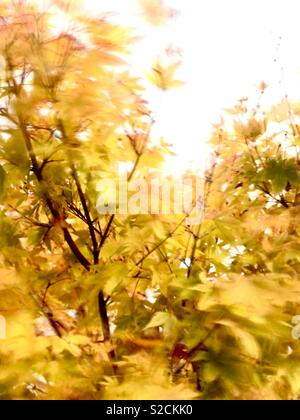 A maple tree in autumn blowing in the wind. - Stock Image