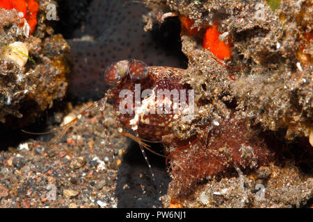 Mantis Shrimp, Pseudosquilla ciliata. Tulamben, Bali, Indonesia. Bali Sea, Indian Ocean - Stock Image