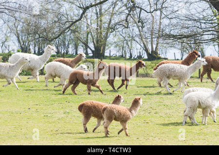Herd of alpacas running in field at the Lakes Distillery, Setmurthy, Cumbria, Lake District, England, UK - Stock Image