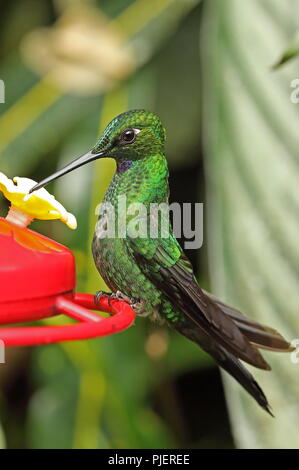 Green-crowned Brilliant (Heliodoxa jacula jamesoni) adult male perched on hummingbird feeder  Vinicio Birdwatchers House; Nono-Mindo Road, Ecuador     - Stock Image