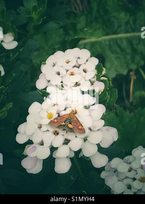 Moth on candytufts iberis flowers - Stock Image