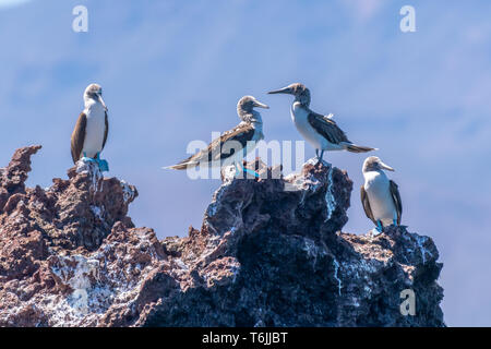 Four Blue-footed Boobies (Sula nebouxii) perched on a rock on the coast of Baja California, Mexico. - Stock Image