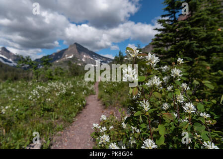 Flowers Along Trail Through Two Medicine Wilderness Area - Stock Image