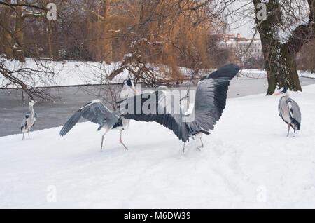 Grey Herons,(Ardea cinerea), compete over food during winter snow in Regents Park, London, United Kingdom - Stock Image