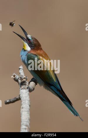 European Bee-eater tossing prey - Stock Image