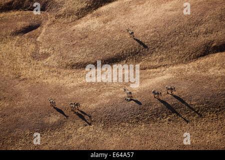 Aerial view of Zebras, Namib Desert, Namib Naukluft National Park, Namibia - Stock Image