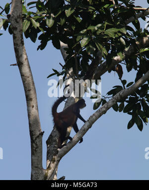 Spider Monkey (Ateles geoffroyi). Corcovado National Park, Osa Peninsula, Costa Rica. - Stock Image