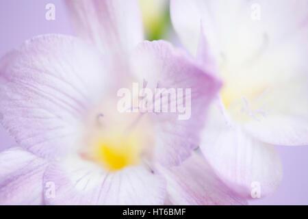 close up mauve freesia blooms fully open - hope and abundant Jane Ann Butler Photography  JABP1870 - Stock Image