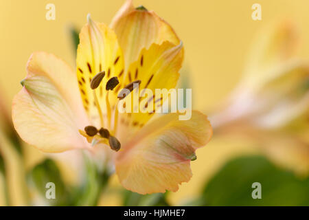 elegant yellow alstroemeria bloom - friendship and devotion in the language of flowers  Jane Ann Butler Photography - Stock Image