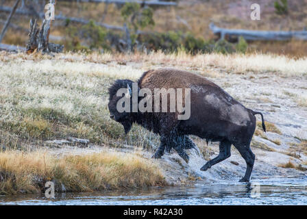 USA, Wyoming. Yellowstone National Park, bull bison crosses the Firehole River and comes out dripping with water - Stock Image