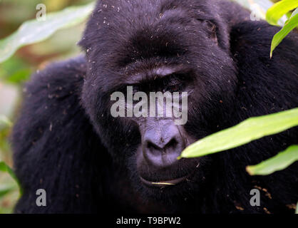 Close-up of a Male Mountain Gorilla (Gorilla beringei beringei). Bwindi Impenetrable National Park, Uganda - Stock Image