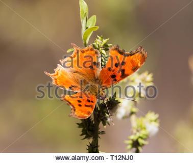 Zephyr Hoary Comma, Zephyr Anglewing, Polygonia gracilis zephyrus, Butterfly,  in Arizona USA - Stock Image