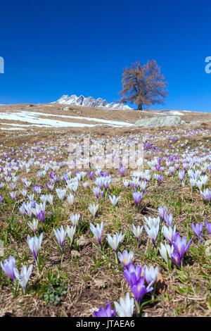 Blue sky on the colorful crocus flowers in bloom, Alpe Granda, Sondrio province, Masino Valley, Valtellina, Lombardy, Italy - Stock Image