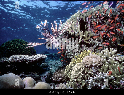 underwater, Lionfish in the corals - Stock Image