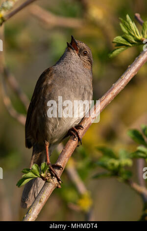 Dunnock (Prunella modularis) singing from a branch with fresh leaves - Stock Image