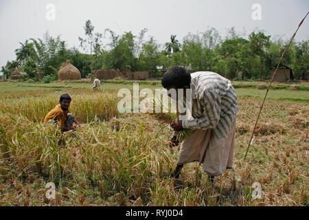 BANGLADESH Family harvesting rice, Near Mymensingh photo by Sean Sprague - Stock Image