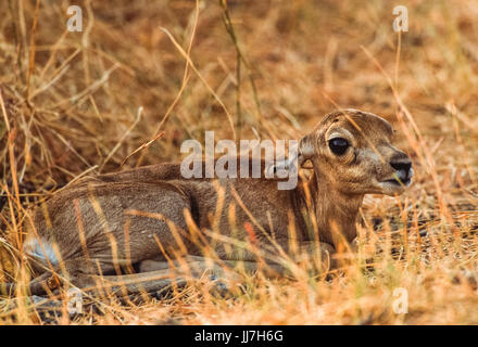 Indian Blackbuck fawn, (Antilope cervicapra), Blackbuck National Park, Gujarat, India - Stock Image