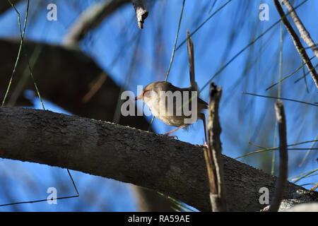An Australian, Queensland Female Variegated Fairy-wren ( Malurus lamberti ) looking for food - Stock Image