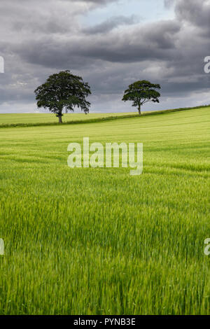 Dark clouds over rolling field of unripe green wheat crop with two trees on Highway B6460 near Duns Scottish Borders Scotland UK - Stock Image