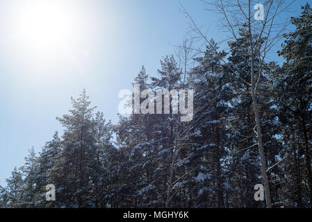 Winter sunlight with golden warm tones reflects off of snow covered pines and fir tree branches covered in fresh crisp white snowfall in this rustic s - Stock Image