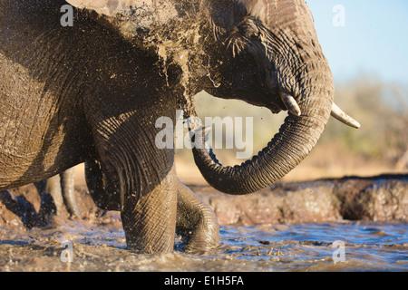 African elephant (Loxodonta africana) bathing at watering hole, Mashatu game reserve, Botswana, Africa - Stock Image