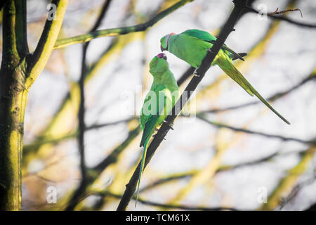 Rose-ringed or ring-necked parakeet Psittacula krameri invasive and exotic bird, perched in a forest during Winter season - Stock Image