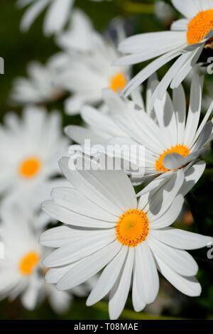 Many giant marguerite flowers. - Stock Image