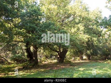 Ancient broad leaf oak woodland once a medieval deer park, The Thicks, Staverton forest, Suffolk, England - Stock Image