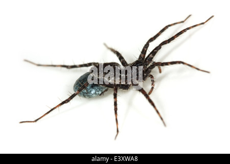 Female wolf spider, family Lycosidae, carrying an egg sac. Possibly an Acantholycosa lignaria spider. - Stock Image