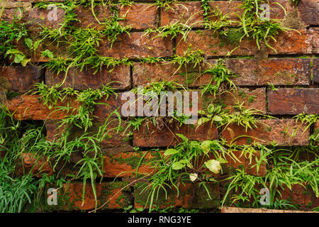 Close up of an old exterior brick background with green weeds, grass or vegetation growing between the bricks. - Stock Image