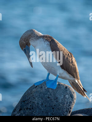 Blue-footed Booby, Galápagos - Stock Image