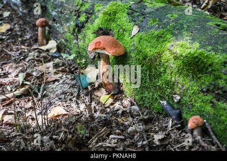 Funghi Edible Mushroom Picking Fungi in the Woods Mushrooms Mycology - Stock Image