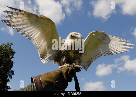 One-year-old snow owl 'Eyolfoer' tries to fly in the Wildpark Eekholt near Großenaspe, Germany, 05 - Stock Image