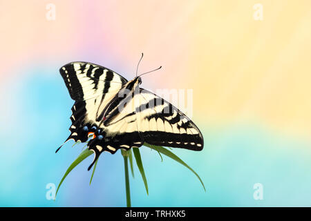 A western tiger swallowtail (Papilio rutulus) with wings spread open - on a multi-colored background - Stock Image