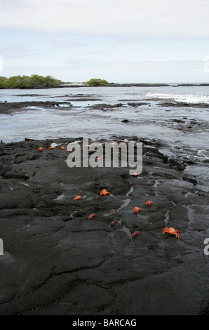 Lava Beach and Sally Lightfoot Crabs, Punta Espinoza, Fernandina (Narborough) Island, Galapagos Islands, Ecuador, - Stock Image