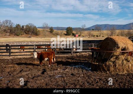 USA Virginia Luray  Shenandoah River Valley in winter  cow farm feeding on hay - Stock Image