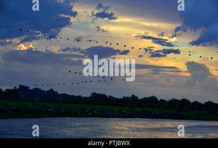 Magpie geese flying in formation at sunset over the Yellow Water Billabong, Kakadu, Northern Territory, Top End, Australia - Stock Image