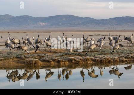 Spain, Laguna de Gallocanta, Gallocanta, Aragon, group early morning with mountains in the background - Stock Image