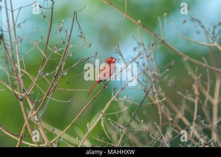 Crimson Finch perhced in grass heads, Queensland, Australia - Stock Image
