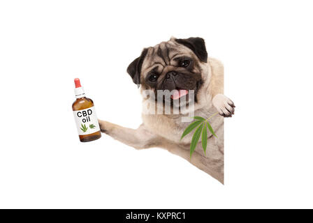 cute smiling pug puppy dog holding up bottle of CBD oil and marijuana hemp leaf, isolated on white background - Stock Image