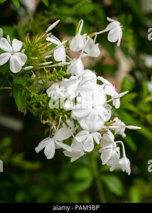 White flowers in summer clusters of the tender scrambling wall shrub, Plumbago capensis f. alba - Stock Image