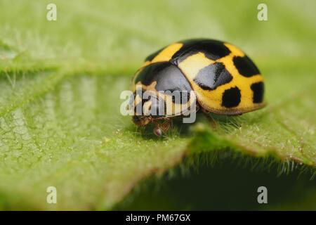 14-spot Ladybird (Propylea quattuordecimpunctata) on underside of bramble leaf. Tipperary, Ireland - Stock Image