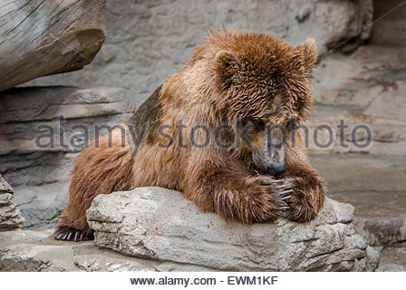 Grizzly Bear, Ursus arctos, called 'Tundra' appearing to say his prayers at the Denver Zoo, Denver, Colorado, - Stock Image