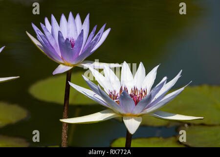 botany, water lily (Nymphaea) , Additional-Rights-Clearance-Info-Not-Available - Stock Image