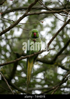 Green necked Parakeet - Psittacula Krameri perched on a branch eating a peanut in Hyde Park, London UK - Stock Image